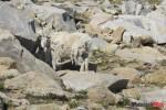 IMG_0493 Mountain Goat mom