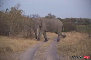 elephant crossing road in Africa