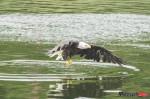 Alaska_Bald Eagle