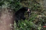 Alaska_Black Bear
