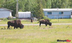 Bisons in the Wild