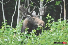 Canadian Moose in the Wild