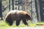 Finding Bears at Glacier National Park