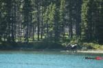 Finding a Moose in Glacier National Park