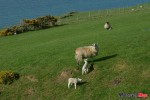 Spotting Sheep on the Isle of Man