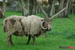 Finding a Loaghtan Sheep on the Isle of Man