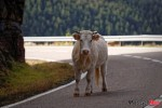Finding a Cow on the Road in Spain