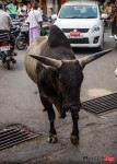Finding a Cow with Horns in India