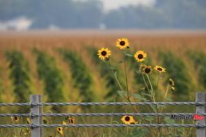 sunflowers-in-nebraska