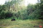 Finding a Bear in Alaska