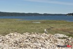 22 A seagull on a pile of oyster shells scans the bay